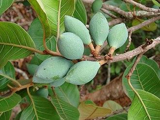 Pouteria - Fruits of P. ramiflora