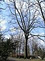 Praha - obora Hvezda - pamatny strom 2.jpg