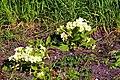 Primroses (Primula vulgaris) - geograph.org.uk - 761606.jpg