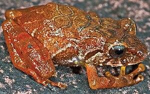 Pristimantis jamescameroni - Juvenile Pristimantis jamescameroni