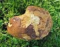 Probably Scarletina Bolete. A non-staining variety of Boletus luridiformis (49070026176).jpg
