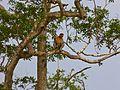 Proboscis Monkey (Nasalis larvatus) (8066935968).jpg