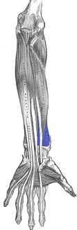 Front of the left forearm. Deep muscles. (Pronator quadratus visible at bottom-center right.)