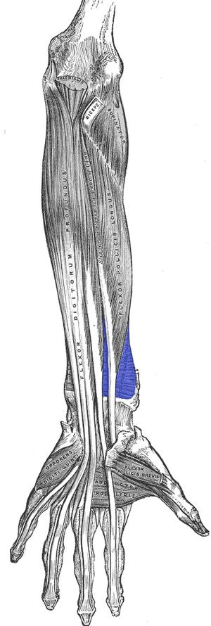 Pronator quadratus muscle - Anterior view of left forearm. Deep muscles. (Pronator quadratus visible at bottom-center right.)