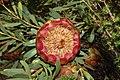 Protea namaquana mr fab iNat37427456b.jpg