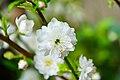 Prunus japonica flower.jpg