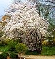 Prunus nipponica 1 Botanical Garden Heidelberg.JPG