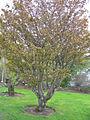 Prunus nipponica Rósakirsiber 3.jpg