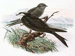 Psalidoprocne albiceps 1894 (cropped).jpg