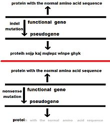 220px Pseudogene4jpg - Pseudogenes Tipos y Caracteristicas