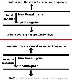 Pseudogene - 2 ways a pseuogene may be produced