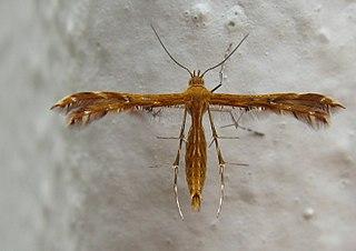<i>Stenodacma wahlbergi</i> Species of plume moth