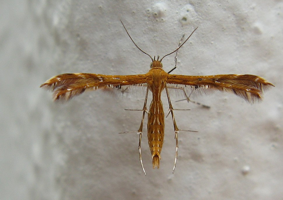Pterophoridae Plume Moth Stenodacma wahlbergi 8231