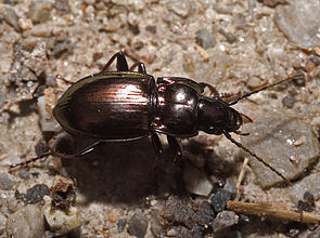 Metallischer Grabkäfer (Pterostichus burmeisteri)