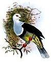 Ptilinopus cinctus albocinctus by Joseph Wolf