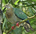 Ptilinopus perlatus -Jurong Bird Park-8a.jpg