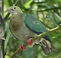 Ptilinopus perlatus -Jurong Bird Park-8a
