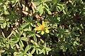 Puerto del Rosario Llanos de la Concepción - FV-30 - Euphorbia balsamifera 03 ies.jpg