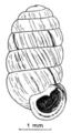 Pupilla muscorum shell 2.png