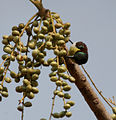 Purple-rumped Sunbird (Leptocoma zeylonica) on Lannea coromandelica fruits W IMG 7715.jpg