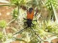 Purpuricenus budensis (7072217485).jpg