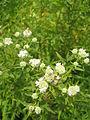 Pycnanthemum tenuifolium flowers.JPG