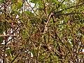 Pycnonotus jocosus (27138439318).jpg