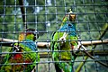 Pyrrhura cruentata -Harewood Bird Garden, Leeds, England -two-8a.jpg