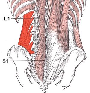 Quadratus lumborum muscle