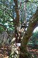 Quercus acuta - Caerhayes Castle gardens - Cornwall, England - DSC03082.jpg