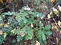 Quercus cerris Bosilegrad 6.JPG