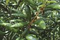 Quercus geminata (23890188840).jpg