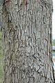 Quercus oglethorpensis (24225490115).jpg