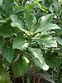 Quercus pontica 04.jpg