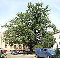 Quercus robur natural monument Marki.jpg