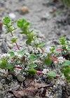 Quirlige Knorpelmiere (Illecebrum verticillatum)
