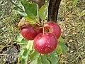 RO BV Apple.jpg