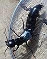 RSCN5202 GT Rove Beetle.jpg
