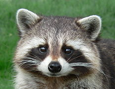https://upload.wikimedia.org/wikipedia/commons/thumb/8/8d/Raccoon_Cute_Pose_%28cropped%29.jpg/232px-Raccoon_Cute_Pose_%28cropped%29.jpg