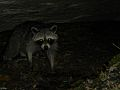 Raccoon in North Carolina, very close to our camp site.jpg
