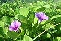 Railroad Vine Flower (ipomoea pes-caprae).jpg