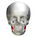 Ramus of the mandible - skull - anterior view.png
