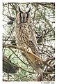 Ransuil - Long-eared owl (15824688057).jpg