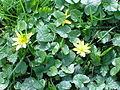 Ranunculus ficaria2.jpg
