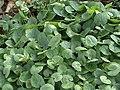 Ranunculus ficaria Leafs.jpg