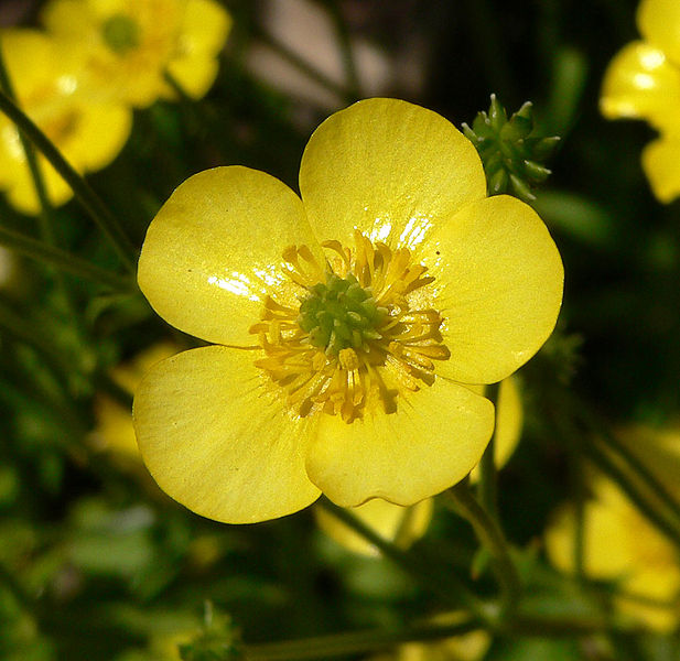 617px-Ranunculus_japonicus_7.jpg