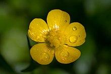 Ranunculus macro.jpg  Ranunculus - Chi Ranunculus 220px Ranunculus macro