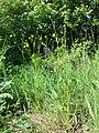 Ranunculus polyanthemos (s. str.) sl3.jpg
