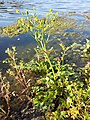 Ranunculus sceleratus sl18.jpg