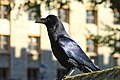 Raven at the Tower of London.jpg